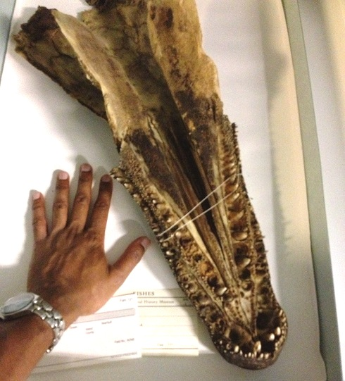 -Alligator Gar [Skull] of The Past...
